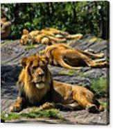 King Of The Pride Acrylic Print