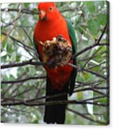 King Parrot Acrylic Print