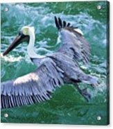 King Pelican Acrylic Print