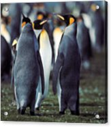 King Penguins Volunteer Point Falkland Islands Acrylic Print
