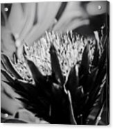 King Protea Exotic Tropical Flowers Acrylic Print