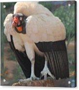 King Vulture 1 Acrylic Print