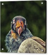 King Vulture Acrylic Print