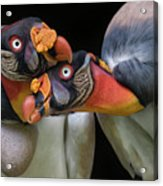 King Vultures' Love Acrylic Print