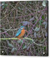 Kingfisher. Acrylic Print