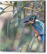 Kingfisher In Willow Acrylic Print