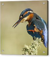 Kingfisher Itch Acrylic Print