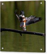 Kingfisher Landing Acrylic Print