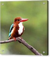 Kingfisher On A Limb Acrylic Print
