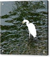 Kingston Jamaica Egret Acrylic Print