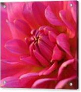 Kiss Of Pink Acrylic Print