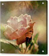 Kissed By A Rose Acrylic Print