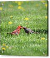Kissing Cardinals Acrylic Print