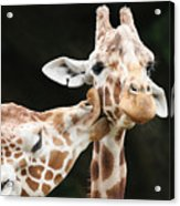 Kissing Giraffes Acrylic Print by Buck Forester
