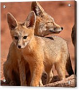 Kit Fox Mother Looking Over Pup Acrylic Print