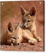 Kit Fox Pups On A Lazy Day Acrylic Print