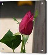Kiti's Rose Acrylic Print