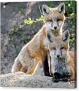 Kits At Rest Acrylic Print