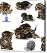Kitten Collage Acrylic Print
