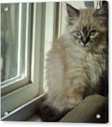 Kitten Daydreams Acrylic Print
