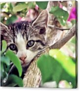 Kitten Hiding Out Acrylic Print