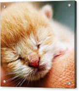 Kitten In Hand Acrylic Print