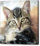 Kitten Looking Acrylic Print