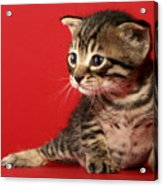 Kitten On Red Acrylic Print