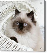 Kitten Portrait Acrylic Print