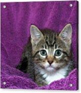 Kitten, Purr-fect In Purple Acrylic Print