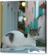 Kitten Reflections Acrylic Print