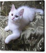 Kitten Snow White Silky Fur Acrylic Print