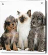 Kitten With Puppies Acrylic Print