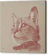 Kitten Wonder Acrylic Print