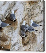 Kittiwakes Tend Their Chicks At Rspb Bempton Cliffs Acrylic Print