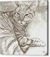 Kitty Cat Acrylic Print