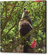 Kitty In The Roses Acrylic Print