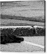 Kitty In The Street Black And White Acrylic Print