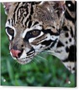 Kitty Ocelot 1 Acrylic Print