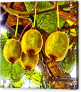 Kiwis In Kiwiland Acrylic Print