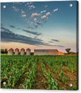 Knee High Sweet Corn Acrylic Print