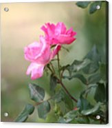 Knock Out Rose Acrylic Print