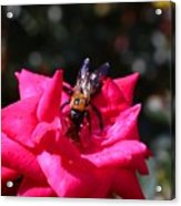 Knockout Rose And Bumblebee Acrylic Print