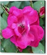 Knockout Rose Surrounded By Buds Acrylic Print