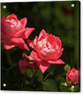 Knockout Roses Acrylic Print