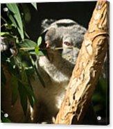 Koala Bear 3 Acrylic Print