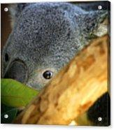 Koala Bear  Acrylic Print by Anthony Jones