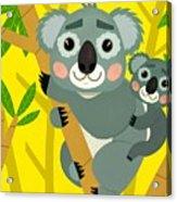 Koala Bears Acrylic Print