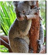 Koala Mama Acrylic Print