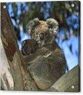 Koala Phascolarctos Cinereus Mother Acrylic Print